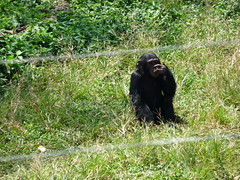 Single juvenile chimp in sanctuary