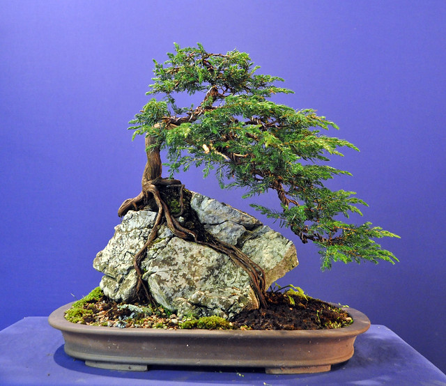 My Bonsai Root Over Rock Juniper Bonsai Baker