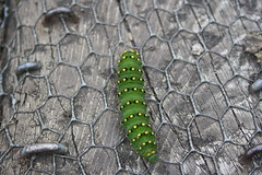Yellow Spotted Caterpillar