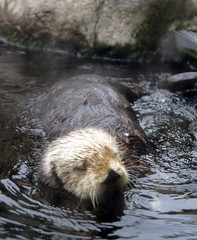 animal, mustelidae, mammal, fauna, sea otter, beaver, wildlife,