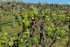 agriculture, tree, plant, produce, vineyard,