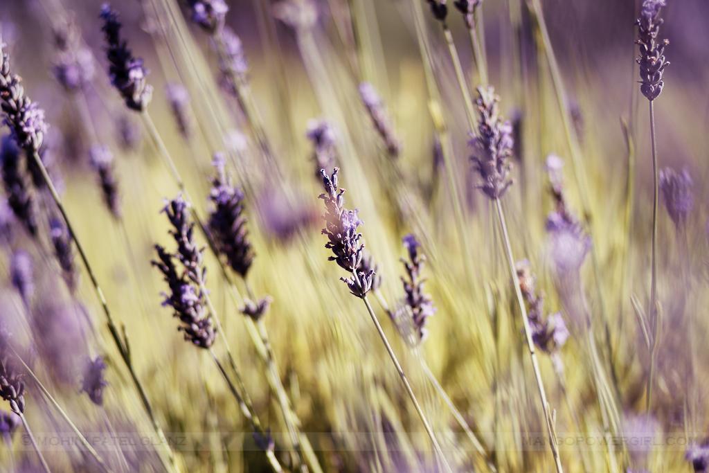 lavender hill farm 3