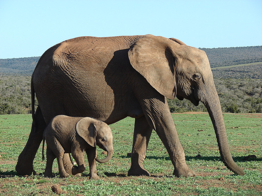 Baby elephant with her mother