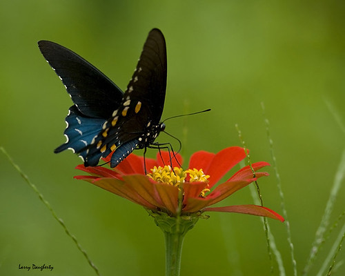 Black swallowtail butterfly on zinnia...