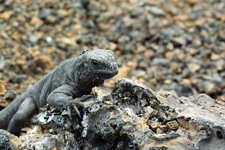 Juvenile Marine Iguana (Amblyrhynchus cristatus) on Isabela, Galapagos Islands