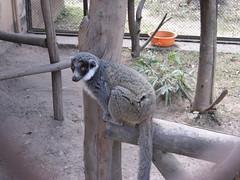 animal, zoo, mammal, fauna, lemur, wildlife,