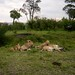 Lion meets buffalo at Masai Mara