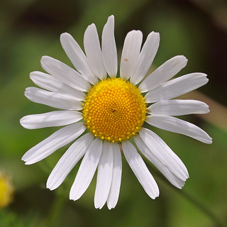 A typical Daisy flower (Oxeye Daisy).