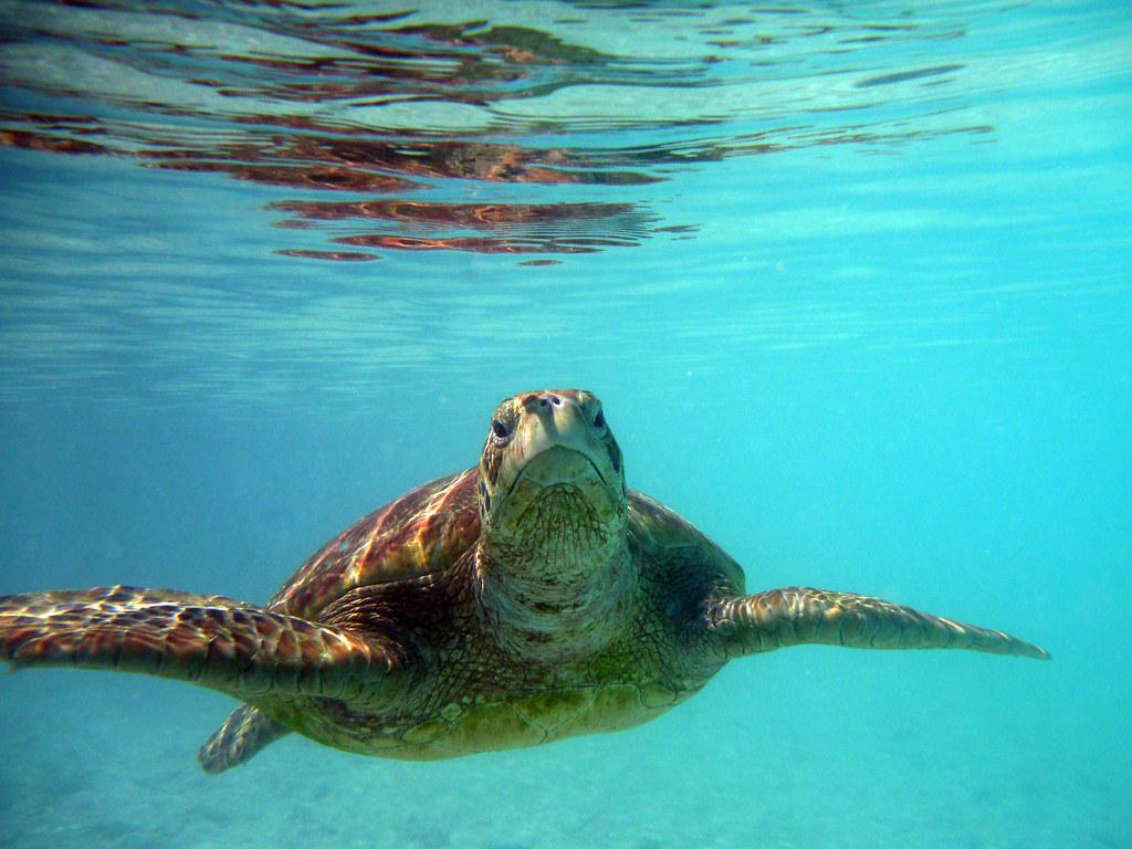 Le Meridien Bora Bora Turtle