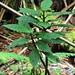 Cyanea tritomantha