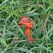 discarded Artocarpus stipules