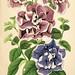 Illustrierte Garten-Zeitung bd.4