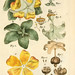 Illustratio systematis sexualis Linnaeani