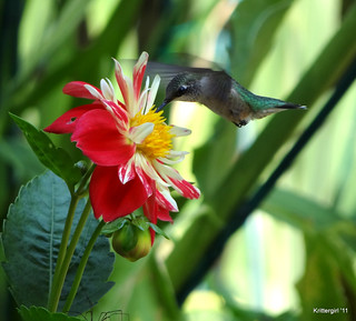 Hummingbird in the Dahlias
