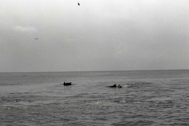 AtlanticDolphins (1975)