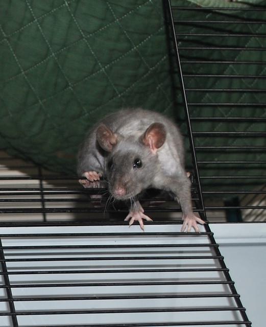 naked rat 2