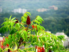 Sumac at Dundas Peak