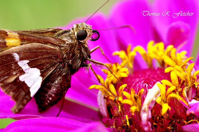 Silver-spotted Skipper on Zinnia blossom