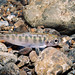 Chinook Salmon (juvenile) Photo Credit: Roger Tabor (USFWS) by USFWS Pacific