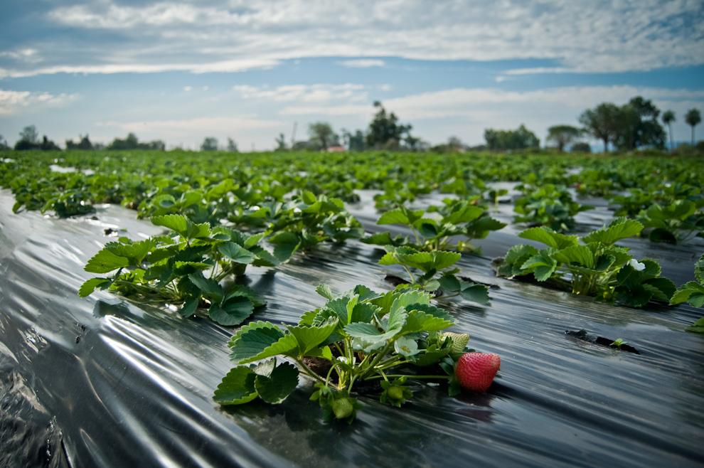 Cultivo frutillas for Matas de viveros