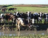 A Whole Herd of Holsteins