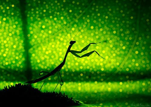 macro green silhouette mantis insect lemon bokeh magic praying creative citrus wonderland conductor celestial nadav 100mmmacro שלמה גמל נדב מאקרו 60d חרק canon60d בוקה macrolife bagim בגים