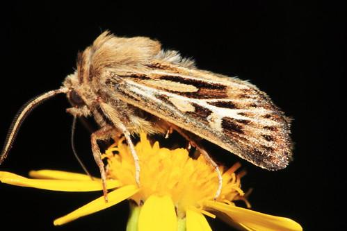 2176 Antler Moth 1517