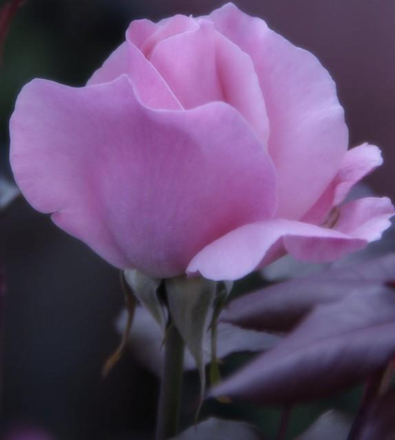 ROSE PINKY