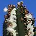 Flowering Garambullo cactus - flor de garambullo (Myrtillocactus); Los Reyes Metzontla (al sur de Zapotitlán), Puebla, Mexico3 por Lon&Queta