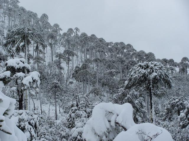Nahuelbuta en nieve