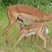 Small photo of Impalas (Aepyceros melampus)