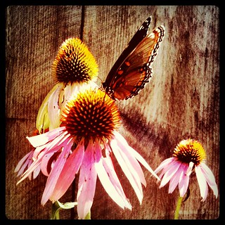 Coneflowers for lunch.