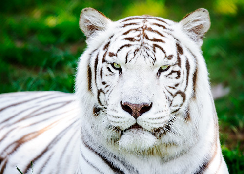 the endangerment of the white tiger species