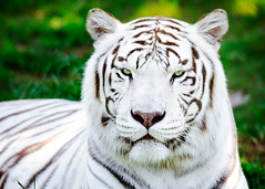 White Tiger Glare [224/365]