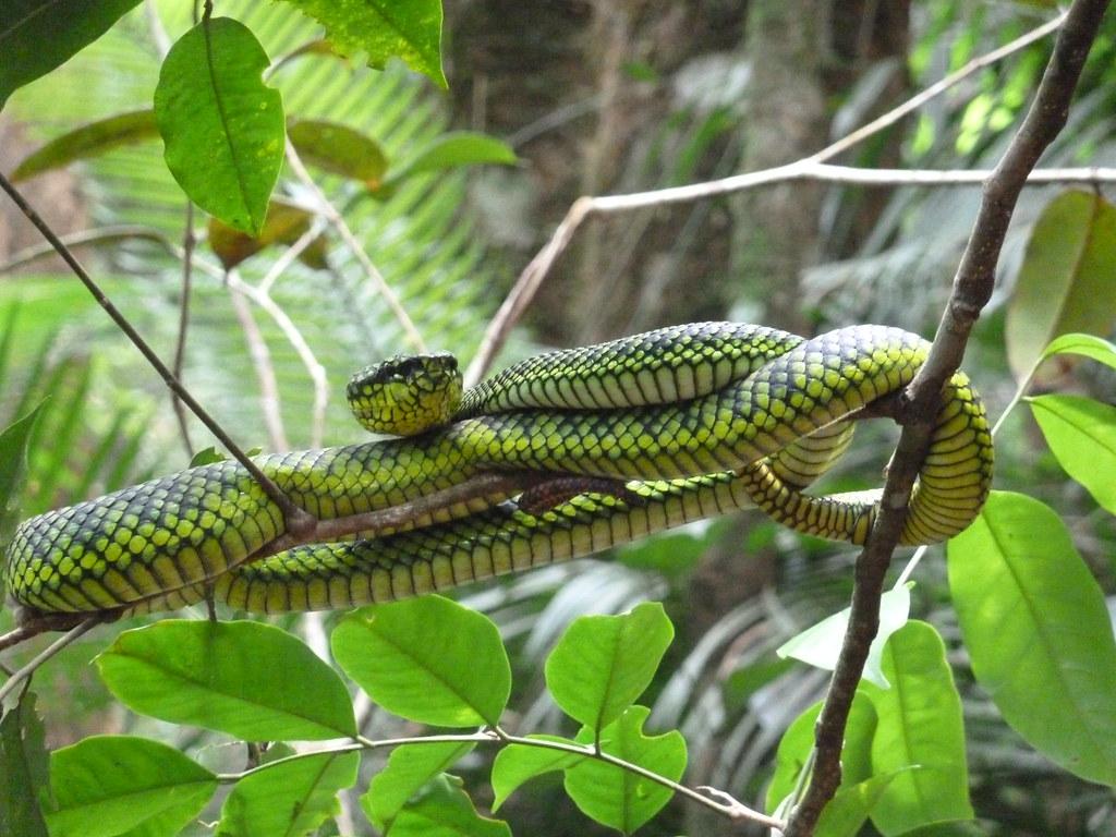 キナバル公園内に生息するヘビ