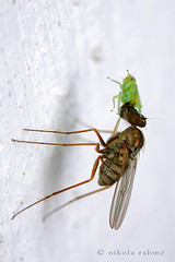 Long-legged fly in action