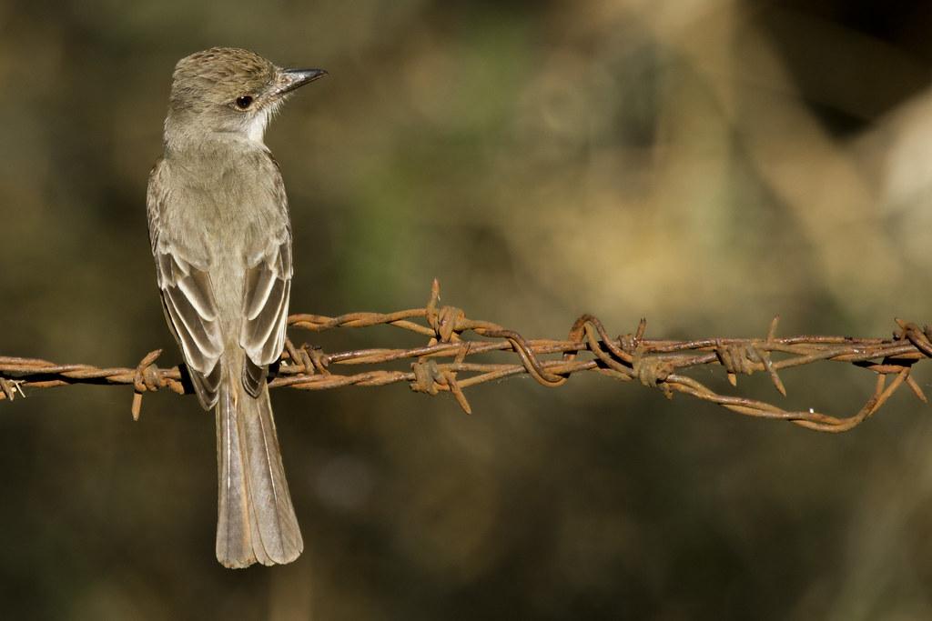 Imagen de una de las aves del Quindio: Elaenia Menor (Elaenia Chiriquensis)