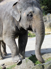 Elephant, Auckland Zoo