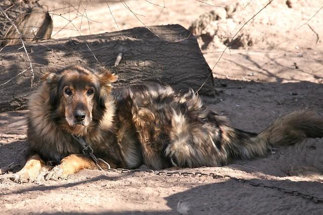 Sweet Old Dog
