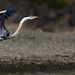 <p>Great Blue Heron photographed while kayaking Russian River just south of Monte Rio in California.<br /> <br /> <a href=&ldquo;http://www.allaboutbirds.org/guide/great_blue_heron/id&rdquo; rel=&ldquo;nofollow&rdquo;>www.allaboutbirds.org/guide/great_blue_heron/id</a><br /> <a href=&ldquo;http://en.wikipedia.org/wiki/Great_Blue_Heron&rdquo; rel=&ldquo;nofollow&rdquo;>en.wikipedia.org/wiki/Great_Blue_Heron</a><br /> <a href=&ldquo;http://en.wikipedia.org/wiki/Monte_Rio,_California&rdquo; rel=&ldquo;nofollow&rdquo;>en.wikipedia.org/wiki/Monte_Rio,_California</a><br /> <br /> Canon EOS 5D MkII, EF100-400mm f/4.5-5.6L IS USM, ISO 800, F5.6, 1/5000, 400mm. Processing: CS5 Color Correction, Curves and RAW adjustments, Noise reduction, cropped.<br /> <br /> Licensed under: Attribution-NonCommercial-ShareAlike: This license lets others remix, tweak, and build upon your work non-commercially, as long as they credit you and license their new creations under the identical terms.<br /> <br /> If you like to get higher res versions for non commercial use or license for commercial use please contact me.</p>