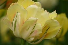 lily(0.0), blossom(0.0), peruvian lily(0.0), tulip(1.0), flower(1.0), yellow(1.0), plant(1.0), macro photography(1.0), flora(1.0), close-up(1.0), plant stem(1.0), petal(1.0),
