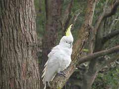 cockatoo, animal, parrot, branch, wing, pet, sulphur crested cockatoo, fauna, beak, bird, wildlife,