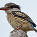 Striped Kingfisher, Lengwe (Malawi), 21-May-11 by Dave Appleton