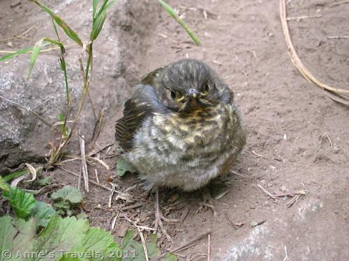 Baby bird along the path to Twisp Pass, Washington