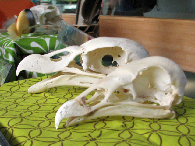 Vulture skulls