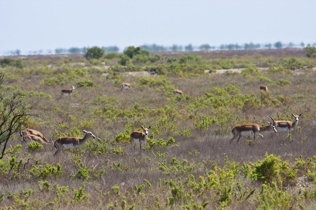 ceyran (caucas gazelle)