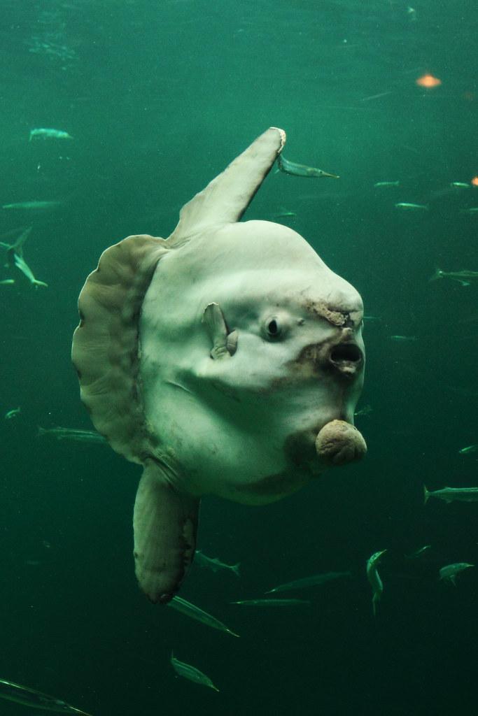 The ocean sunfish (mola mola)