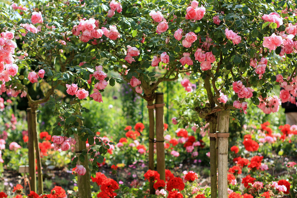 Claude Monet's rose garden