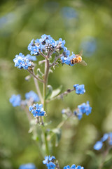 flower, plant, nature, macro photography, herb, wildflower, flora, forget-me-not, close-up, meadow, blue,