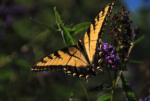 Sunlit Wings of a Beauty!